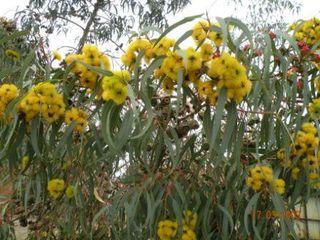 Gum blossoms_yellow