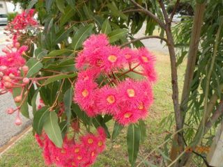 Gum blossoms_red